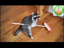 Funny Raccoons You Never Seen Like This Happiness Kingdom