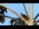 Little Chachalaca Малая чачалака Ortalis motmot