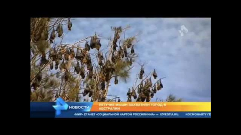 Летучие мыши захватили город в Австралии