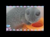 Голубая британская кошечка Veronique продается