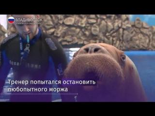 Тренера приморского океанариума уволили за избиение моржа