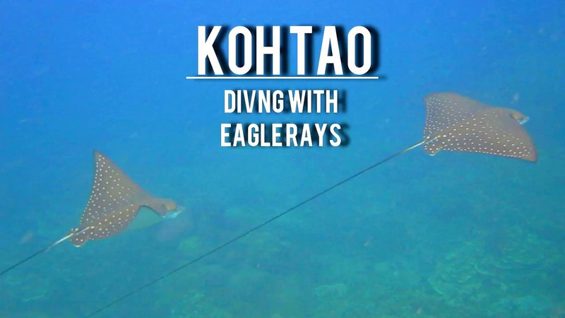 Diving on Koh Tao with eagle rays