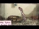 Детеныш питона ест мышку   Baby Python eat mouse