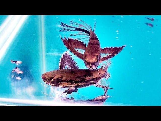 珍奇品種魚.恐龍魚.蝴蝶魚...-2016台灣觀賞魚博覽會Rare species of fish