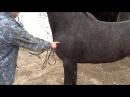 Гнойный свищ у лошади Purulent fistula in the horse