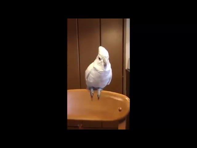 Приколы с попугаем Май фюрер