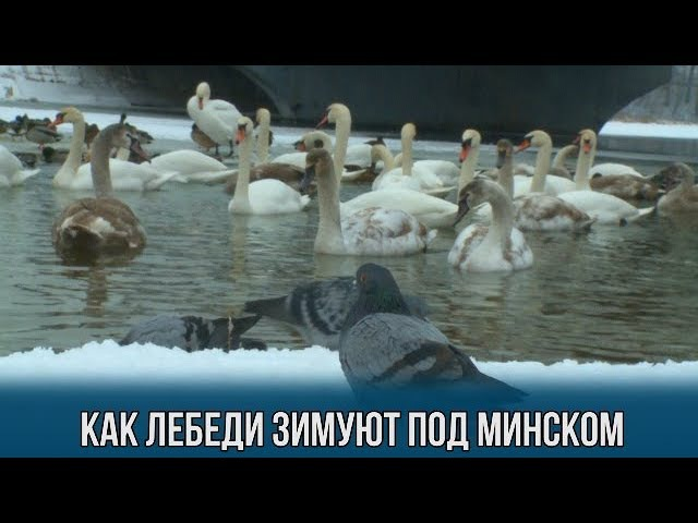 Как лебеди зимуют под Минском