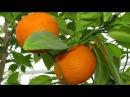Как вырастить комнатный лимон и мандарин Чем прививать мандарин