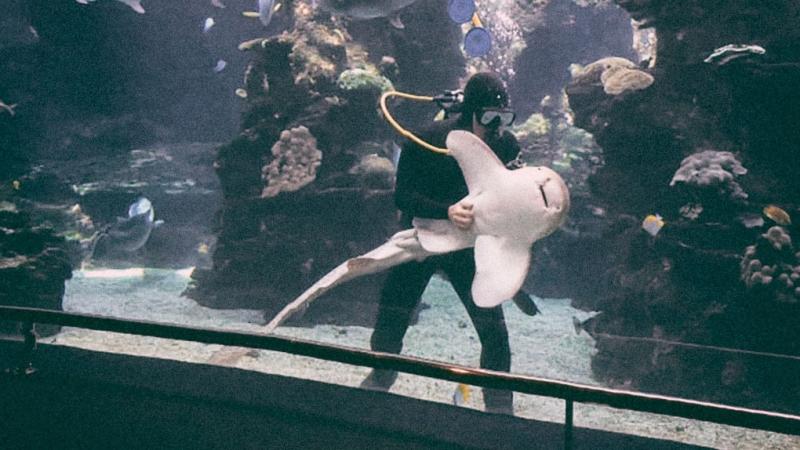 Невозмутимый сотрудник океанариума и тигровая акула
