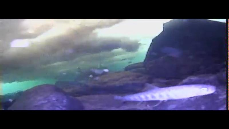 Г. Магадан река Дукча 11 ноября 2017, район подвесного моста подводная съёмка очень наглючая форелька, поймано пару кг форельки