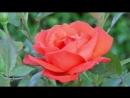 Rose - 3654