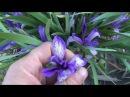 Сибирский ирис Кукушкины слезки Лечение ангины Цветок сибири Цветы сибири