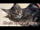 Мейн кун Миса просит кота Female maine coon Misa in heat meows to male outsid