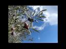 Subida a JARAPALOS, Sierra de Mijas, bosque de pinos, olea europaea, оливковое дерево, 03/12/2017