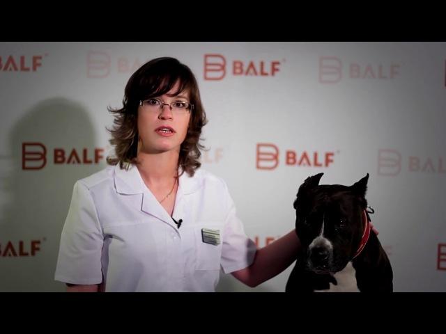 Тонометр для измерения внутриглазного давления у животных Icare® TonoVet