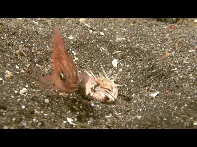 Bobbit Worm гуляю
