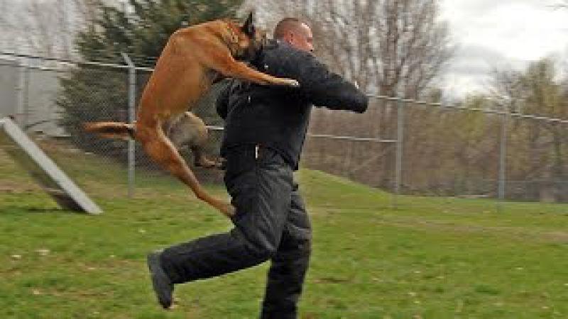 Os mais treinados disciplinados | cachorro Pastor Belga de Malinois!