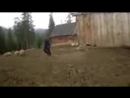 Медведь на прииске решил свежины отпотчивать
