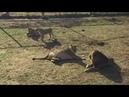 Любовь в семейном прайде. 18 Львы парка Тайган