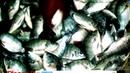 How to cultivation Tilapia fish--তেলাপিয়া মাছ কিভাবে চাষ করবেন