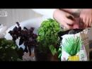 Выращивание зелени дома 🍀 Петрушка и Базилик на подоконнике
