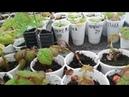 Часть 1.Лёгкий и простой способ размножения ремонтантной малины корневыми черенками.