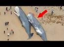 29 Мepтвых Кашалотов Были Найдены На Берегу Северного Моря. И Вот Что Обнаружилось У Них В Животах…