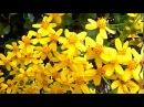 Желтые цветы красивые цветущие декоративные кустарники природа Испании 01 2018