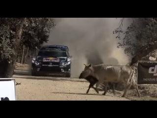 Rally 2016 Mexico guanajuato vaca cow