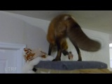 Loki the Red Fox has a girlfriend in the UK