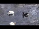 Жесткий бой черного и белого лебедей в Киевском зоопарке - Fight!