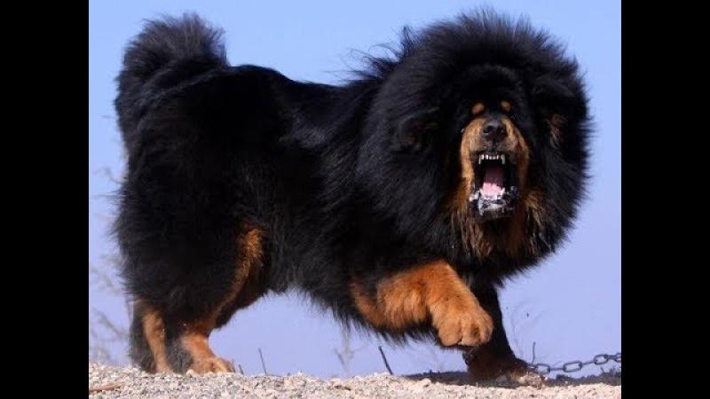 Тибетский мастиф 1. Идеальная собака. Лучший сторож.
