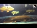 Australian Lungfish Tank ( Neoceratodus forsteri ) - ปลาปอดออสเตรเลีย
