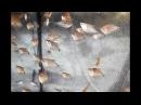 Разведение Жемчужного Гурами