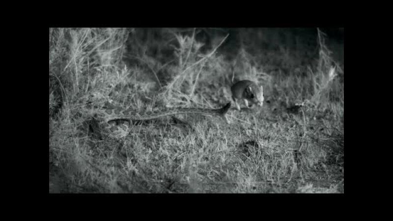 Kangaroo rat avoids rattlesnake strike