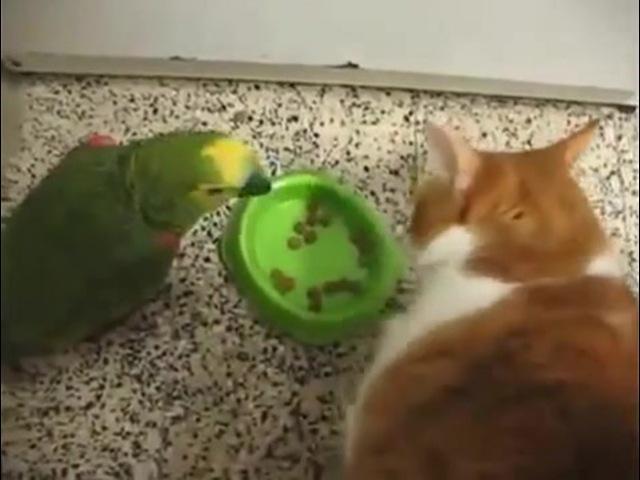 Папугай против кота. Битва за еду (Not Vine)