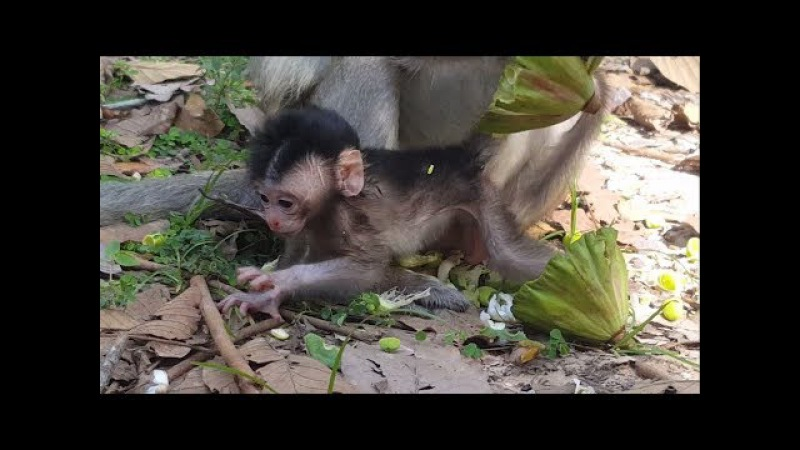 Newborn Baby monkey 3day - Want to be able to walk | so lovely baby monkey , part 207