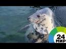 В Великобритании спасли тюленя пострадавшего от игрушки МИР 24