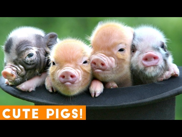 New Ultimate Cute Mini Pigs Micro Pigs Compilation 2018 Try Not to Laugh Funny Pet Videos FPV