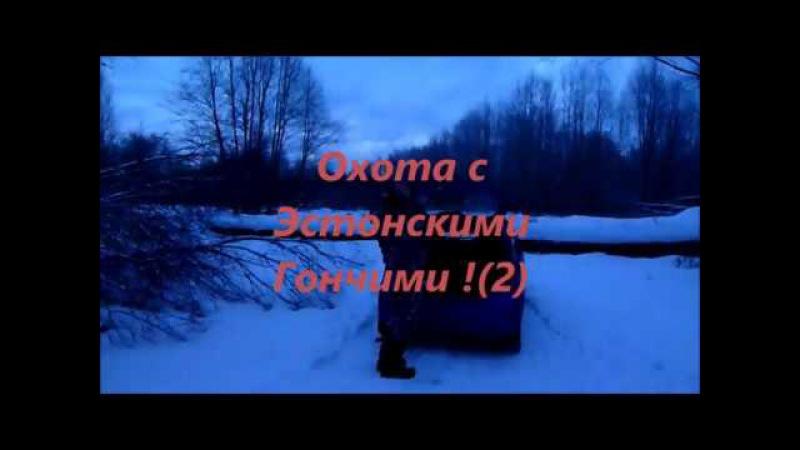 Охота с Эстонскими Гончими !(2)