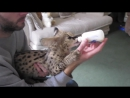 Bottle Feeding a Serval Kitten