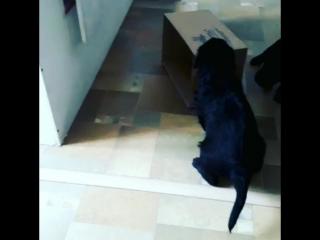 щенки прямошерстного ретривера (ОрфейЮтта)