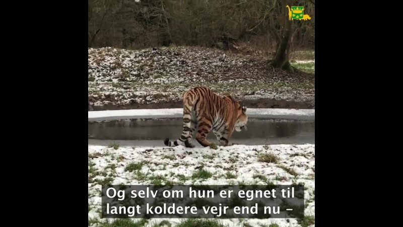 Тигр и тонкий лед