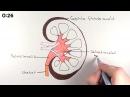 Анатомия почки за 1 минуту