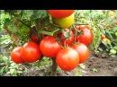 Уникальный способ полива и подкормки томатов Сода марганцовка йод всегда под рукой