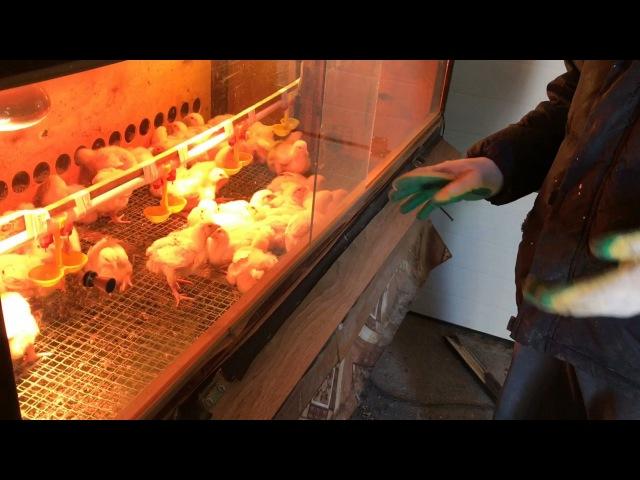 Брудер с терморегулятором на 50 цыплят.