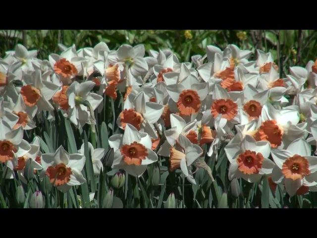 Kul ü Kulilken Rengin Keukenhof, HD 1080p