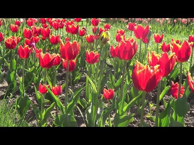 тюльпаны /tulips