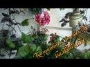 Мои комнатные растения на балконе конец мая Часть 2 я