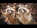 Смешные еноты на видео поднимают настроение и дарят море позитива Funny raccoons